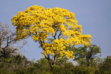 Yellow tabebuia (Tabebuia alba) or Yellow Ipe tree in full bloom, Pantanal, Brazil
