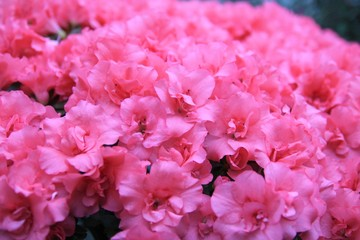 Background of pink Azalea. Group of pink azaleas. Rhododendron