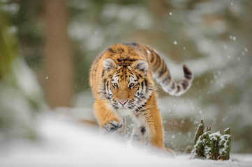 Tiger hunting down prey from front side in winter