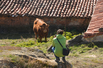 fotografiando una vaca