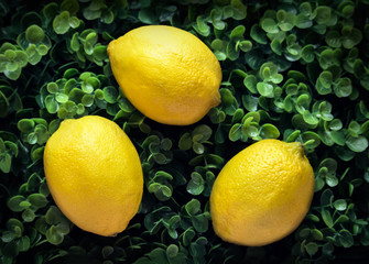 three yellow lemons on a green leafy background