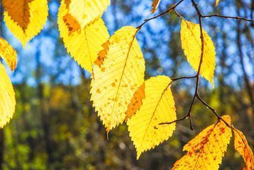 Yellowed leaves of Elm (Ulmus) in the fall lit by the sun