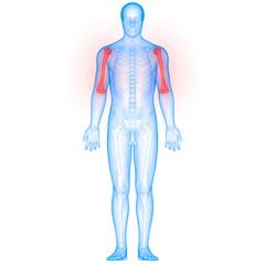Human Body Bone Joint Pains Anatomy (Humerus)