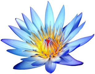 Blooming blue lotus flower isolated on white background