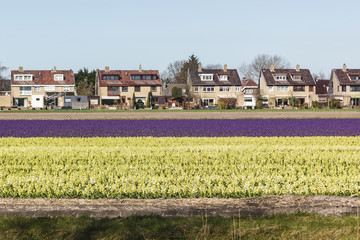 A field with white flowering hyacinth bulbs