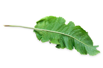 Horseradish leaf isolated on white