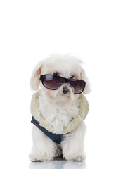 bichon puppy dog wearing blue clothes and sunglasses