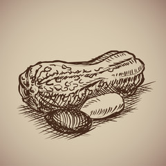Peanut in sketch style.  Illustration. Drawn by hand. Vintage nuts.
