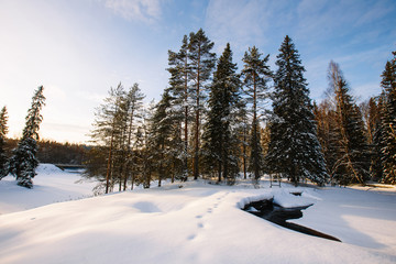 Coniferous trees in winter, footprints in the snow