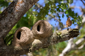 Clay nests of the Rufous hornero in a tree, Lagoa Encantada, Bahia, Brazil