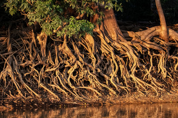 Washed out roots at the river edge in warm afternoon light, Pantanal  Brazil