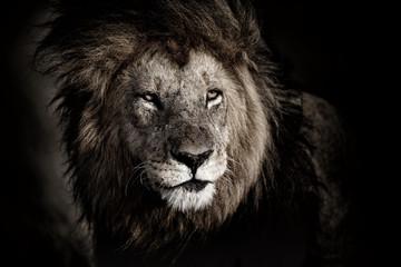 Portrait of big Lion Lipstick inMasai Mara, Kenya
