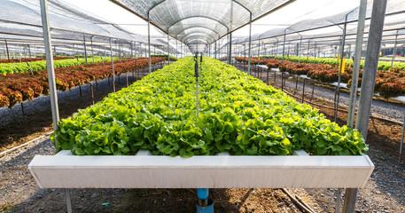 Organic hydroponics lettuce cultivation farm.