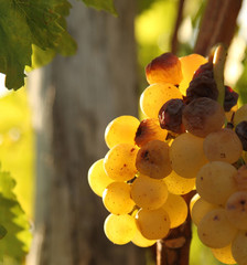 Yellow grape close up