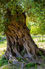 Ancient olive tree trunk, apulia. Italy