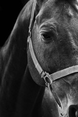 Horse black and white portrait