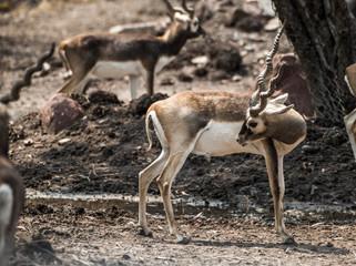 Deer Impala