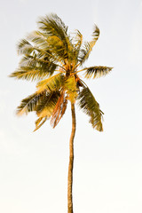 Palm tree isolate in a blue sky