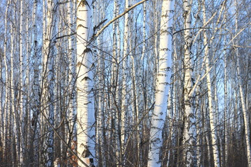 Birch trees in bright sunshine / trunks of birch trees in birch-wood