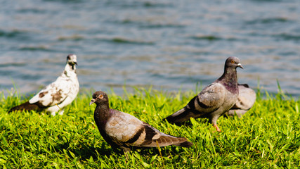 Rock Pigeon or Common Pigeon or Rock Dove or Columba livia