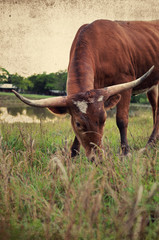 Wall Mural - Red longhorn cow in farm pasture, good for agriculture or ranch background.  Western rustic appeal.