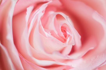 Macro photo of sweet pink rose. Soft image, selective focus. Romantic background.