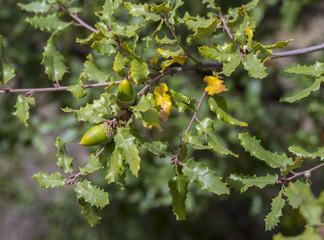 Foliage and acorns of Gall Oak, Quercus faginea. Photo taken in Guadalajara Province, Spain.