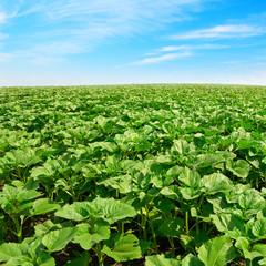 Fototapete - sunflower field and beautiful blue sky