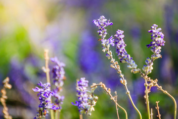 Natural flower background. Amazing nature view of purple flowers blooming in garden under sunlight at the middle of summer day.