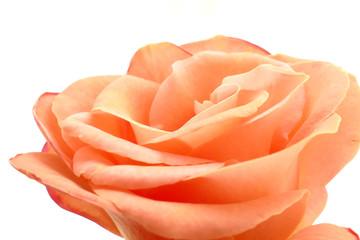 Rose Blüte Hochzeit zart rose apricot lachs