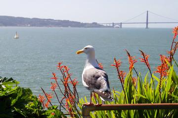 Seagull looking from Alcatraz to Golden gate bridge, San Francisco, California, USA