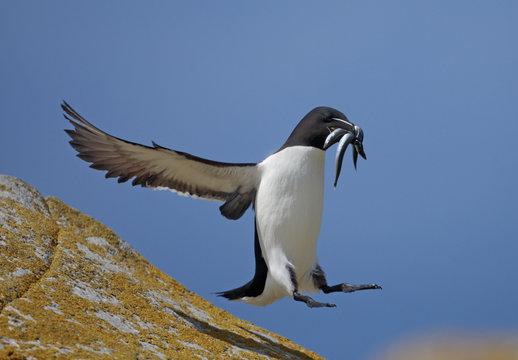 Razorbill (Alca torda) landing on rock carrying fish, Saltee Islands, County Wexford, Ireland, June 2009