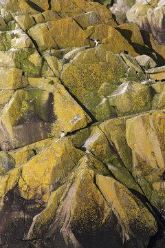 Razorbills (Alca torda) on coastal cliff, Saltee Islands, County Wexford, Ireland, June 2009