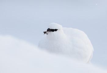 Rock ptarmigan (Lagopus mutus hyperborea) feeding, in snow, Spitsbergen, Svalbard, March 2009