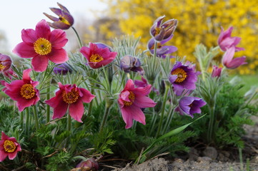 Pasque Flower,spring flower (Pulsatilla vulgaris).