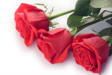 Red roses closeup isolated on a white background