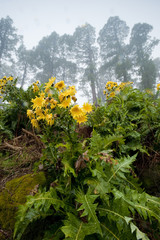 Flowering plant (Sonchus sp) with flowers fading, in mist, La Palma, Canary Islands, Spain, March 2009