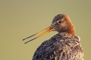 Black tailed godwit (Limosa limosa) calling, Texel, Netherlands, May 2009
