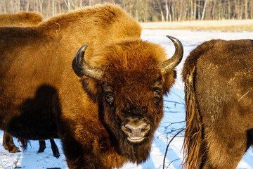 Fototapeta bison on a snow covered field