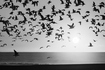 Silhouettes flock of seagulls over the Sea. Black and white photo.