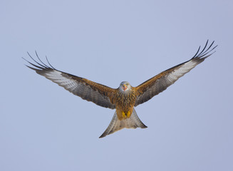Red kite (Milvus milvus) in flight, Gigrin Farm, Powys, Rhayader, Wales, UK, February 2009