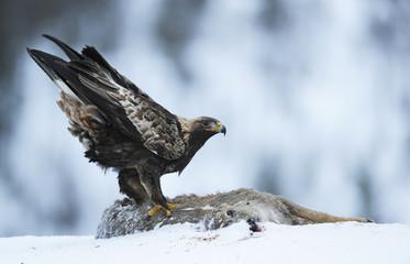 Golden eagle (Aquila chrysaetos) feeding on deer carcass, Flatanger, Norway, November 2008