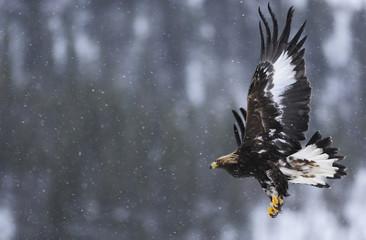 Golden eagle (Aquila chrysaetos) in flight in snow, Flatanger, Norway, November 2008