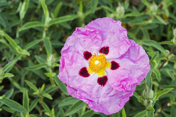 Single exotic looking pink flower with wrinkled petals