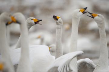 Whooper swans (Cygnus cygnus) calling in snow, Lake Tysslingen, Sweden, March 2009