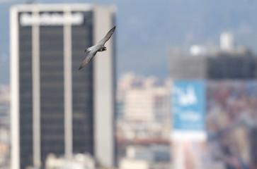 Peregrine falcon (Falco peregrinus) in flight, Barcelona, Spain, April 2009