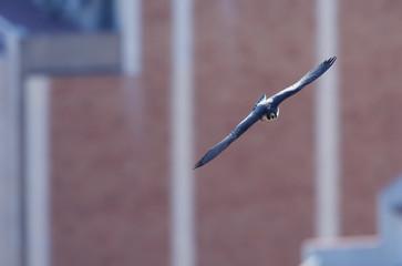 Peregrine falcon (Falco peregrinus) in flight, Barcelona, Sagrada familia cathedral, Spain, April 2009