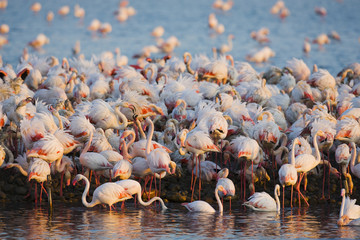 Greater flamingos (Phoenicopterus roseus) part of breeding colony of approx 10,000 pairs, Camargue, France, April 2009