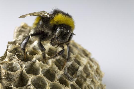 Bumblebee and hornet's nest
