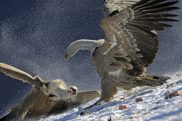 Griffon vultures (Gyps fulvus) fighting over food, Cebollar, Torla, Aragon, Spain, November 2008.
